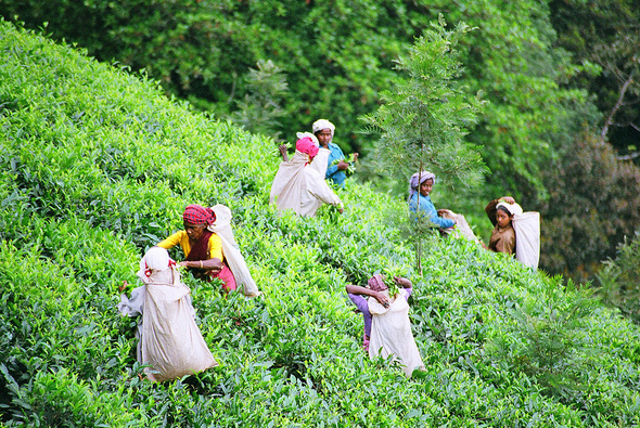 Tea pickers in Wayanad, India. Steenbergs under a Creative Commons Licence - See more at: http://newint.org/blog/2016/02/08/keeping-tea-plantation-workers-poor/#sthash.bNiHbcWa.dpuf